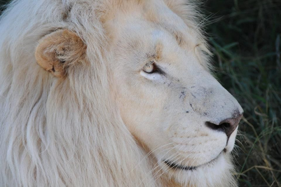 White lion with blue eyes wallpaper