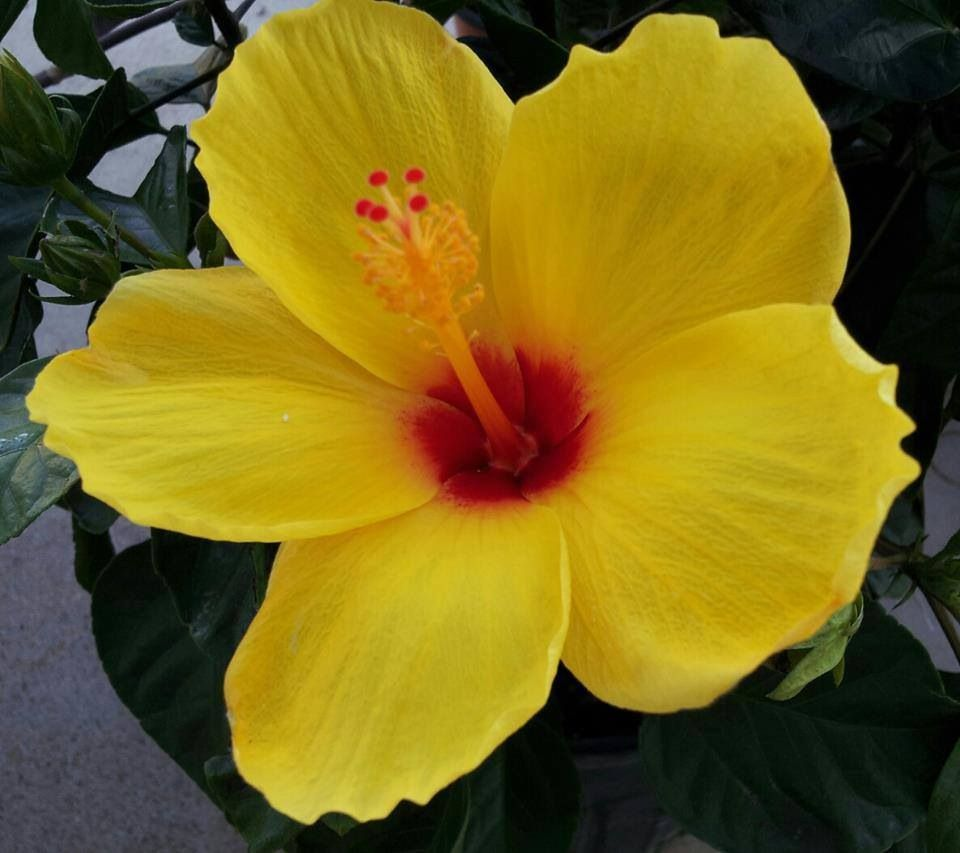 Yellow hibiscus flower | *Christmas Gift Ideas | Pinterest