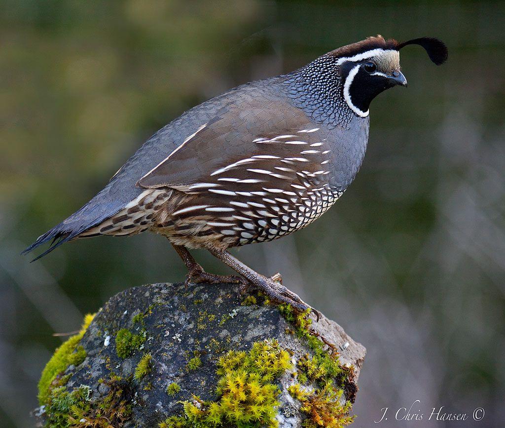 quails - photo #47