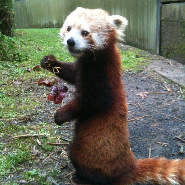 eating grapes red panda pinterest