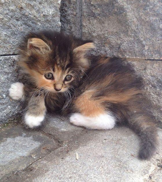Calico Kitten. Big eyes like Meils. | cute animals | Pinterest