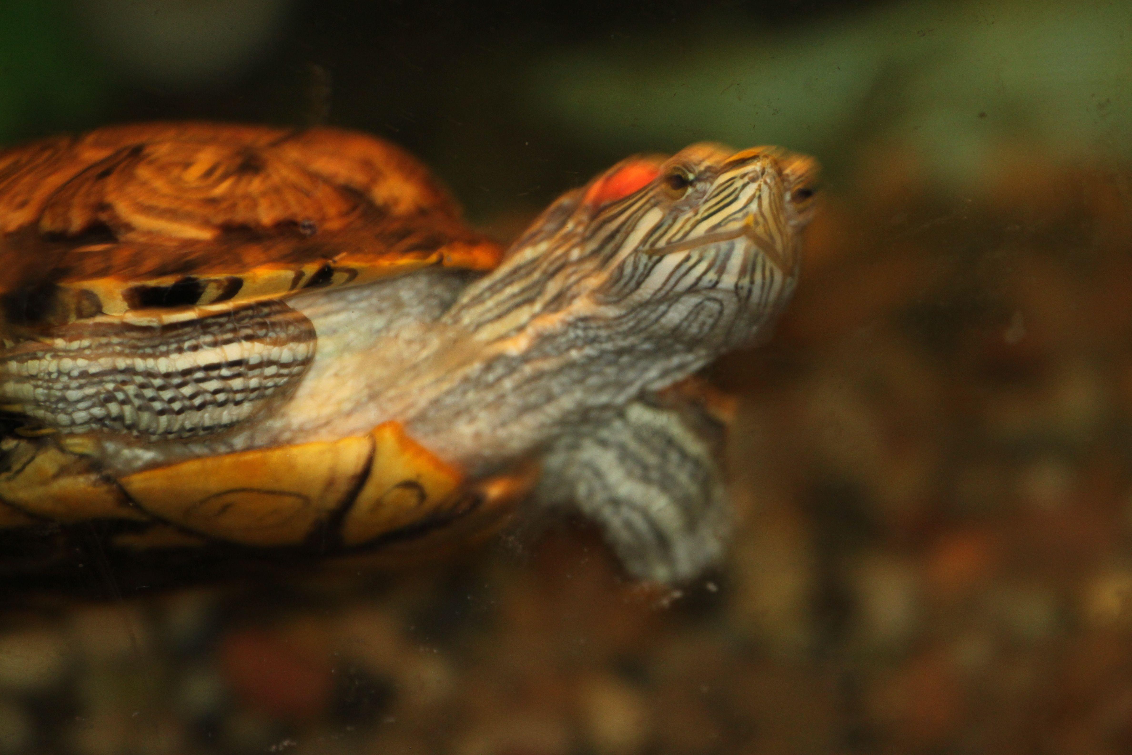 pet turtle Pets Pinterest