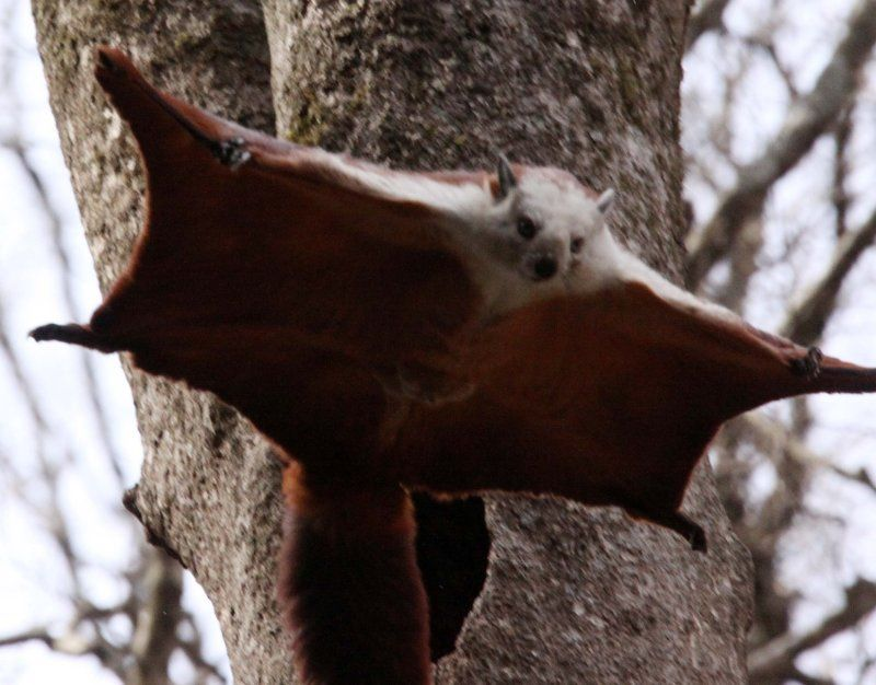 Chinese giant flying squirrel - photo#1
