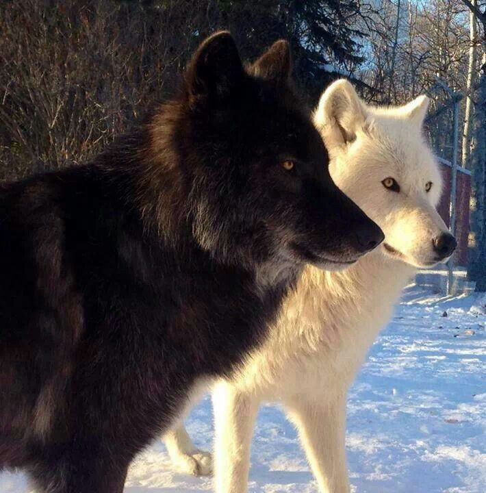 Wolves, black and white | Wolf Love | Pinterest