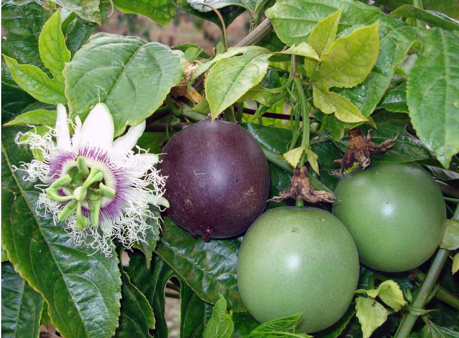 how to grow passiflora edulis
