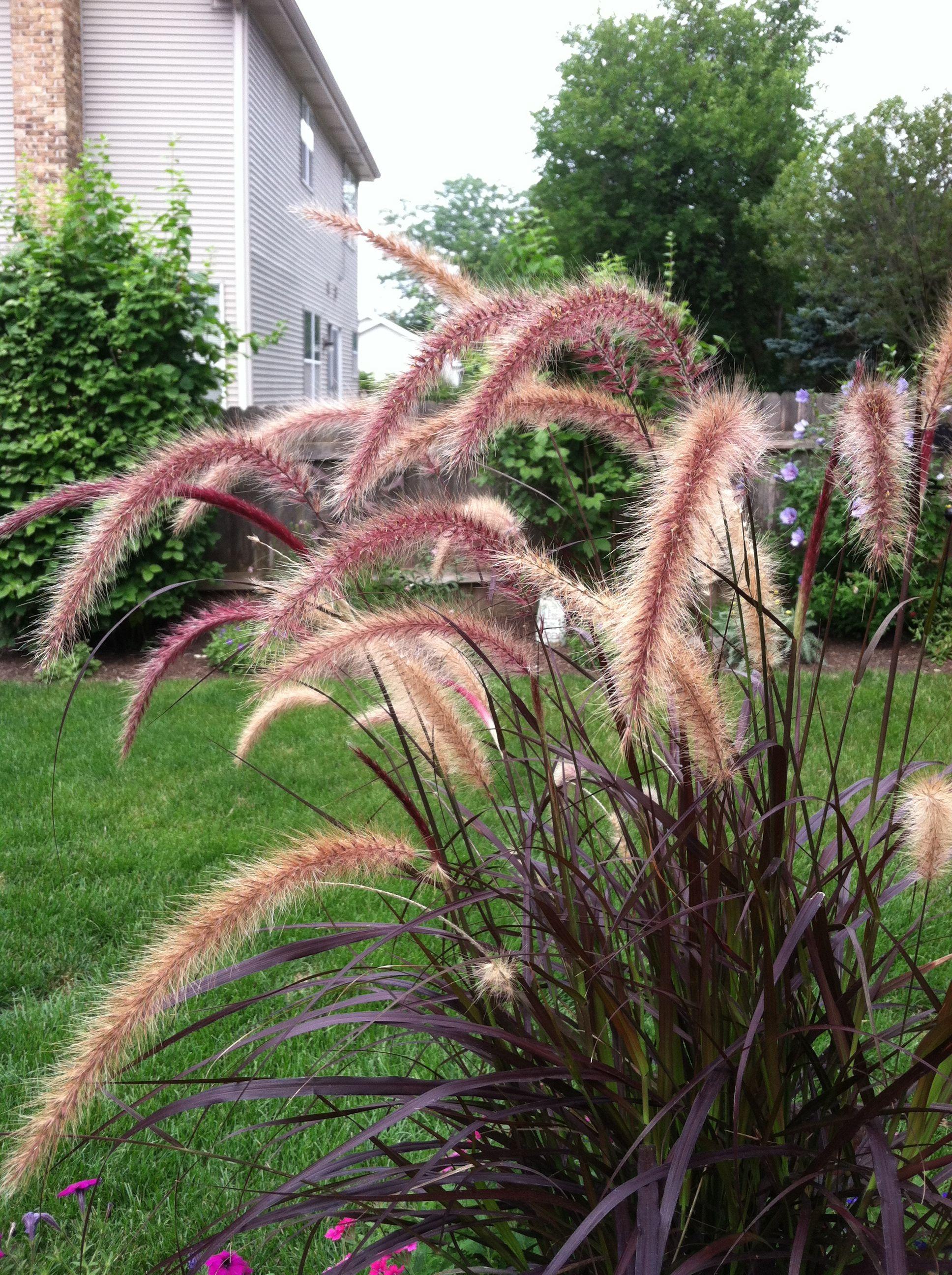 Purple grass landscaping outdoors pinterest for Purple grasses for landscaping