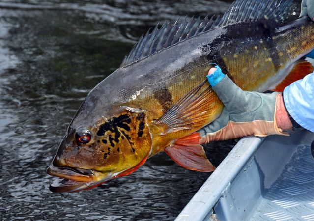 Amazon river fish piranha