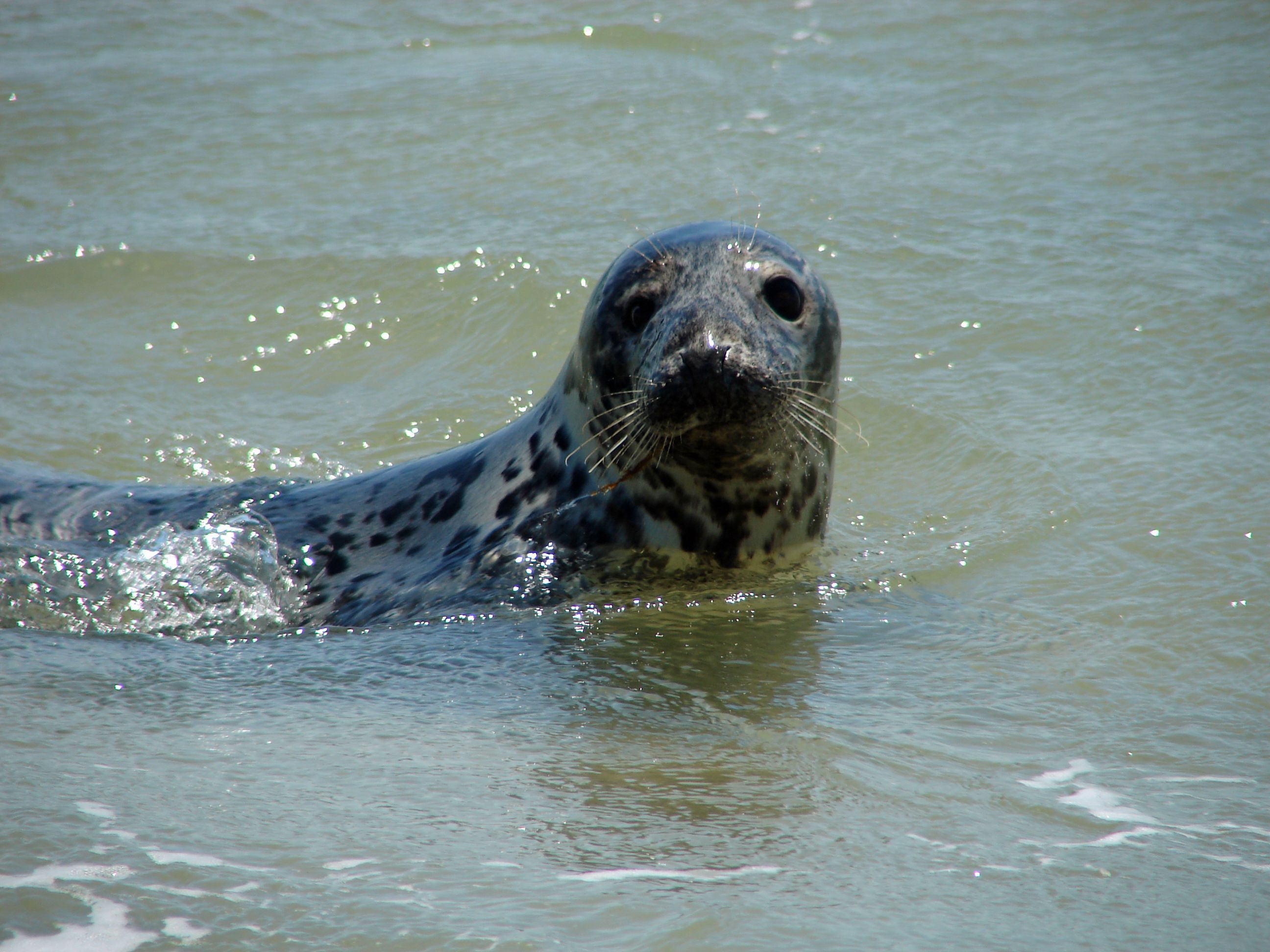 memorial day seal beach