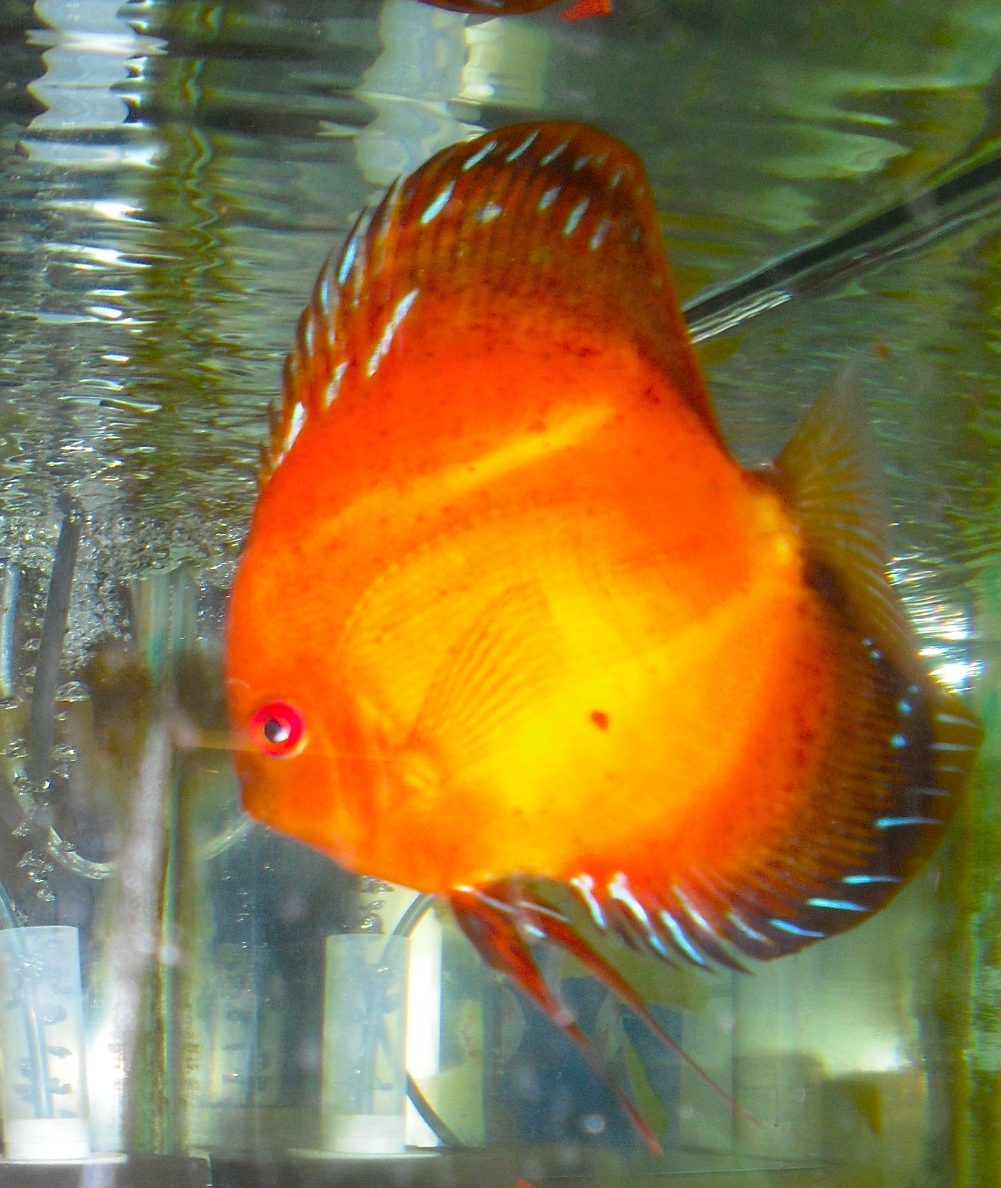 fire-red discus Favorite Tropical Fish Pinterest