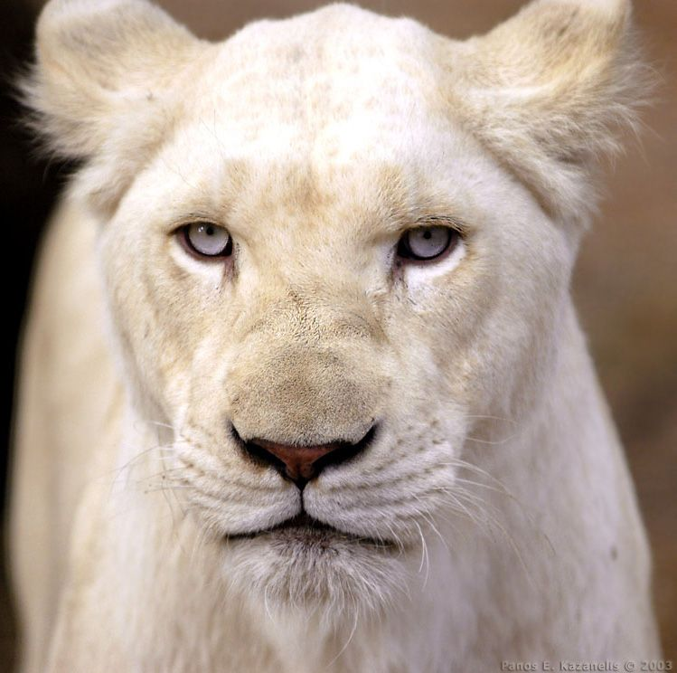 The Rare White Lion -White lions are not albino as they have pigmentation which shows particularly in eye, paw pad and lip colour.