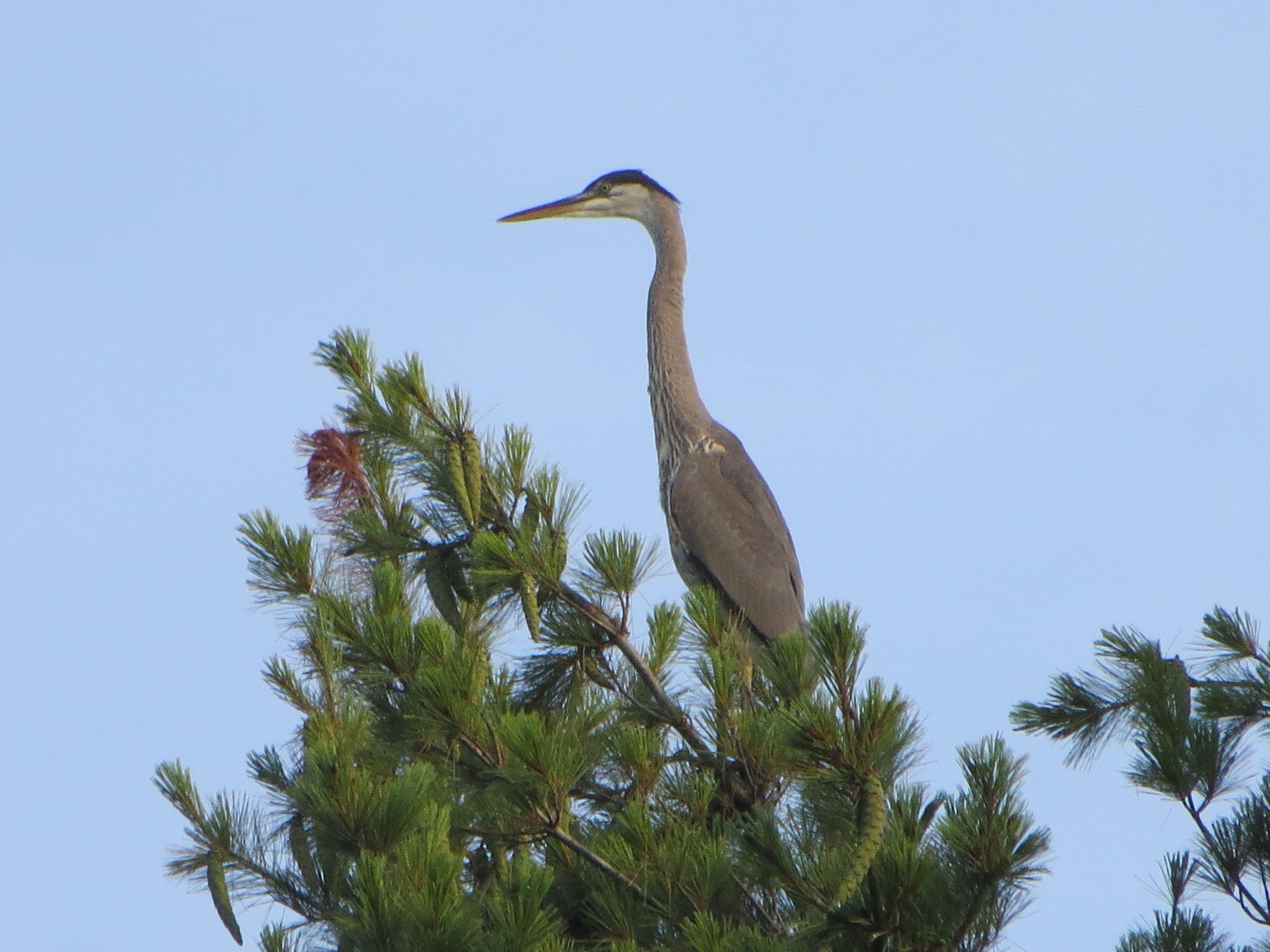Great Blue Heron at Cranmore Mountain Lodge