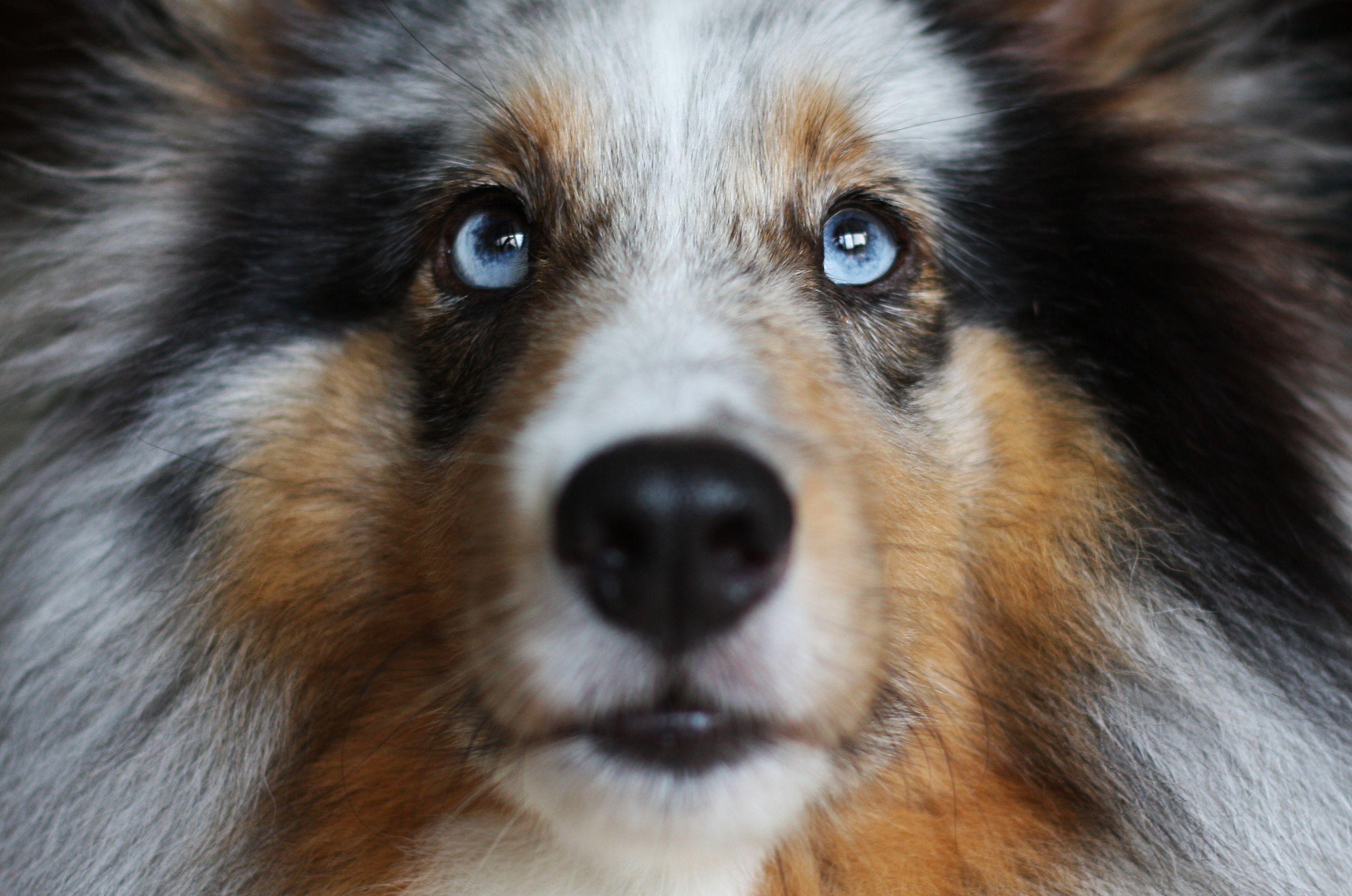 Old English Sheepdog Gifts Mina, 5 year old blue ...