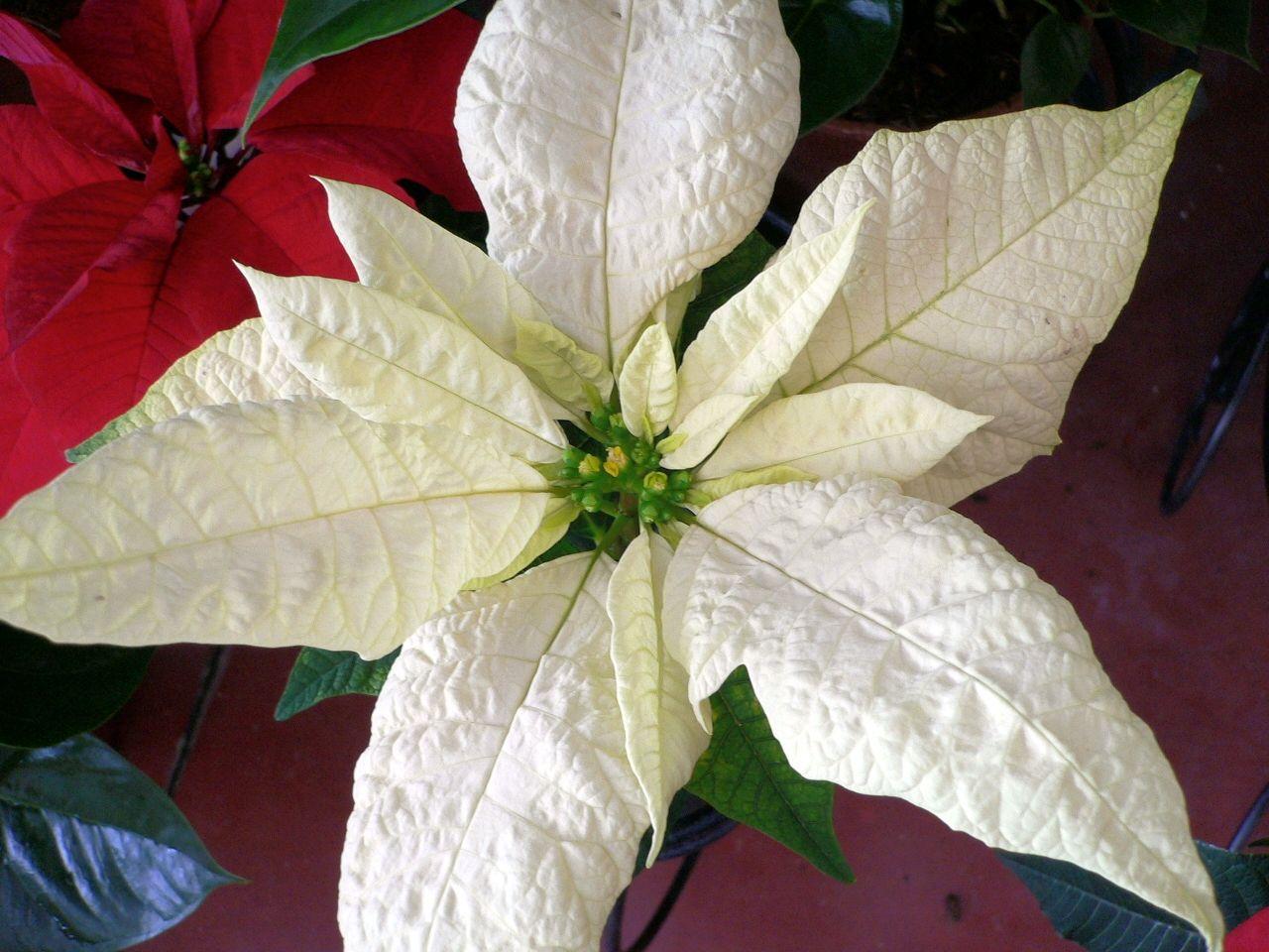 white poinsettia Flowers