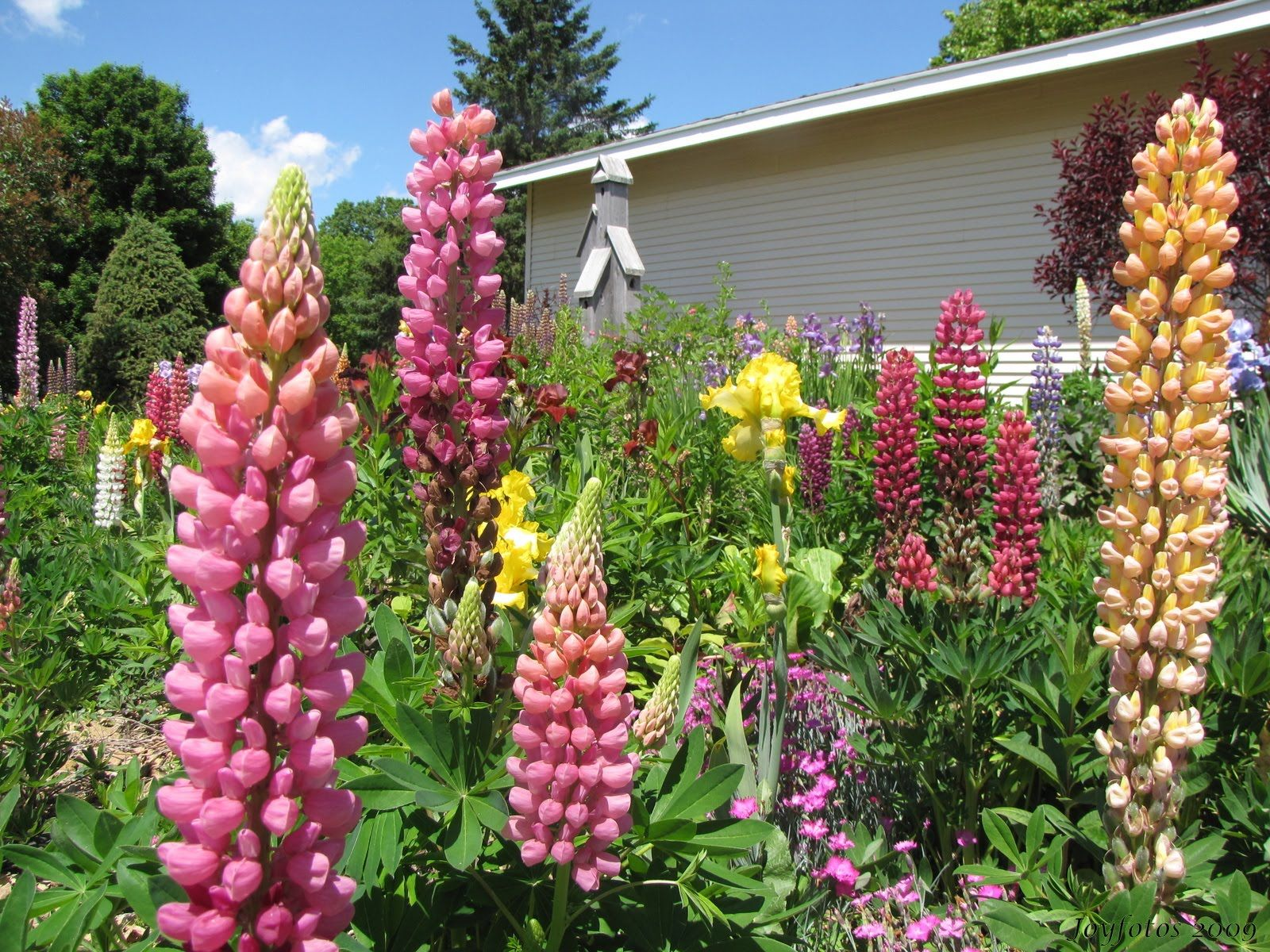Lupine flower garden ideas pinterest for Garden designs pinterest
