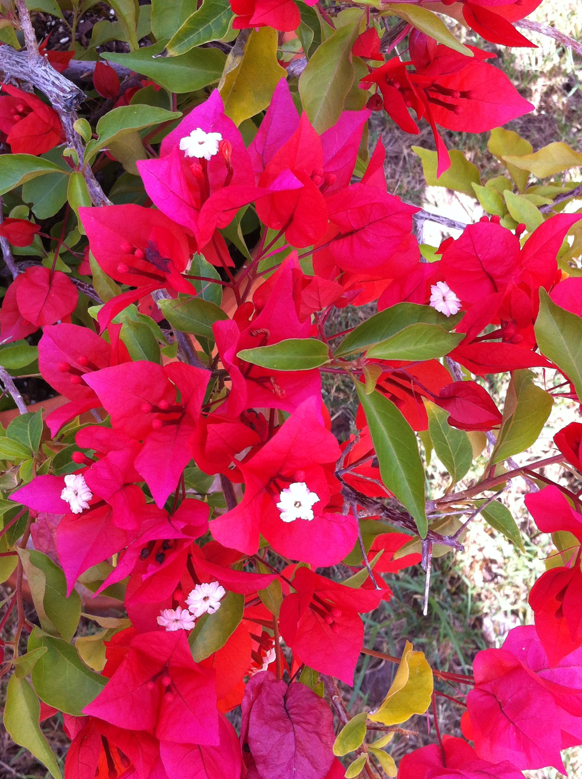 Bougainvillea plant | FLOWERS | Pinterest