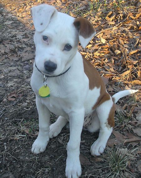 Lizzy The Pit Bull Mix Reminds Me Of Theer Jack