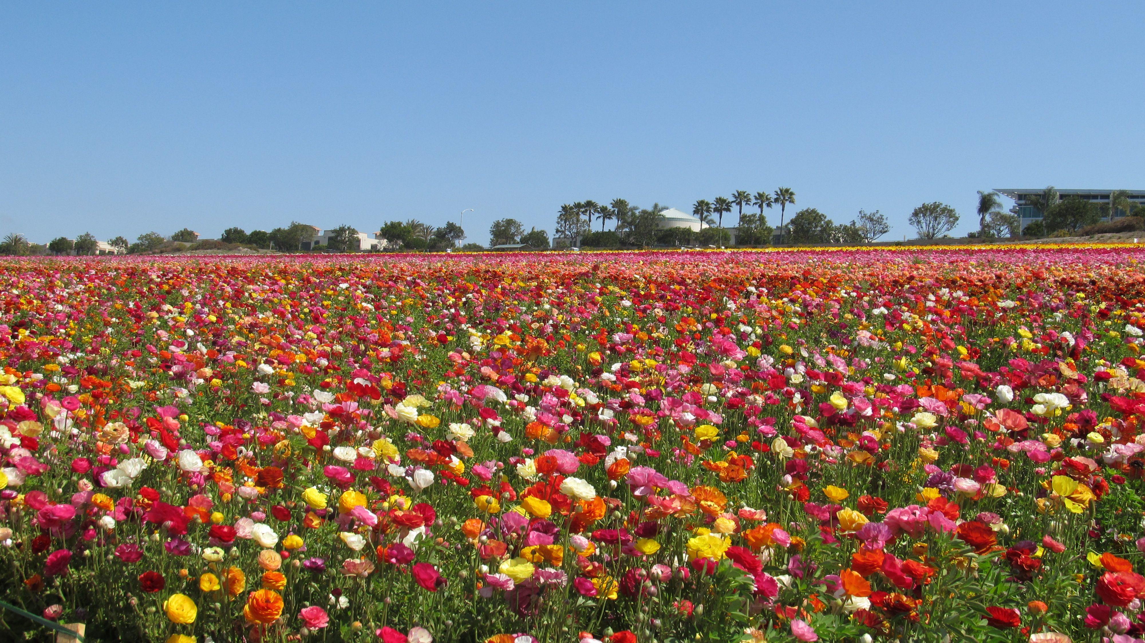 flowers in carlsbad
