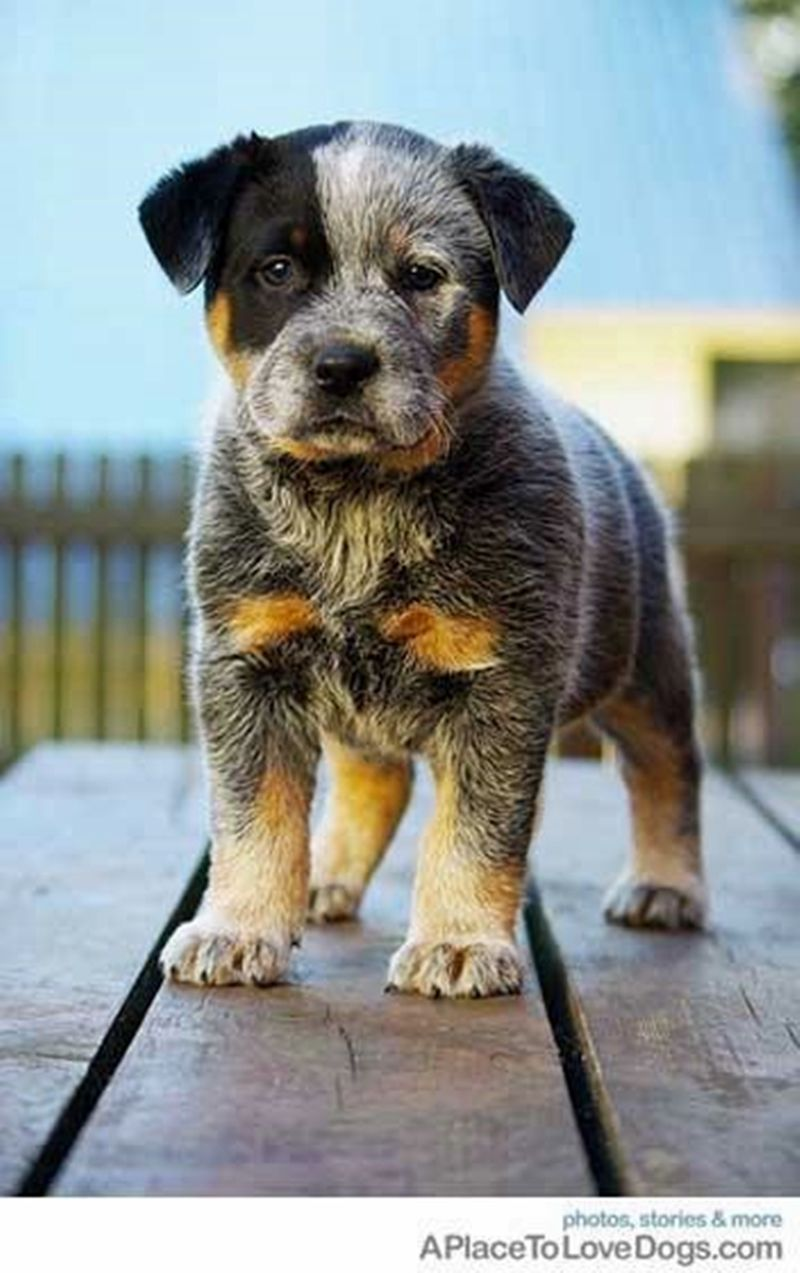 Blue Heeler | Adorable cats and dogs!! | Pinterest