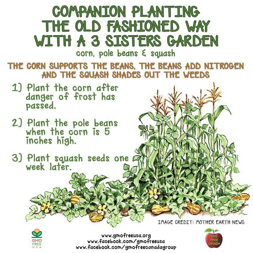 3 sisters planting gardening and organic pinterest for Vegetable planting layout