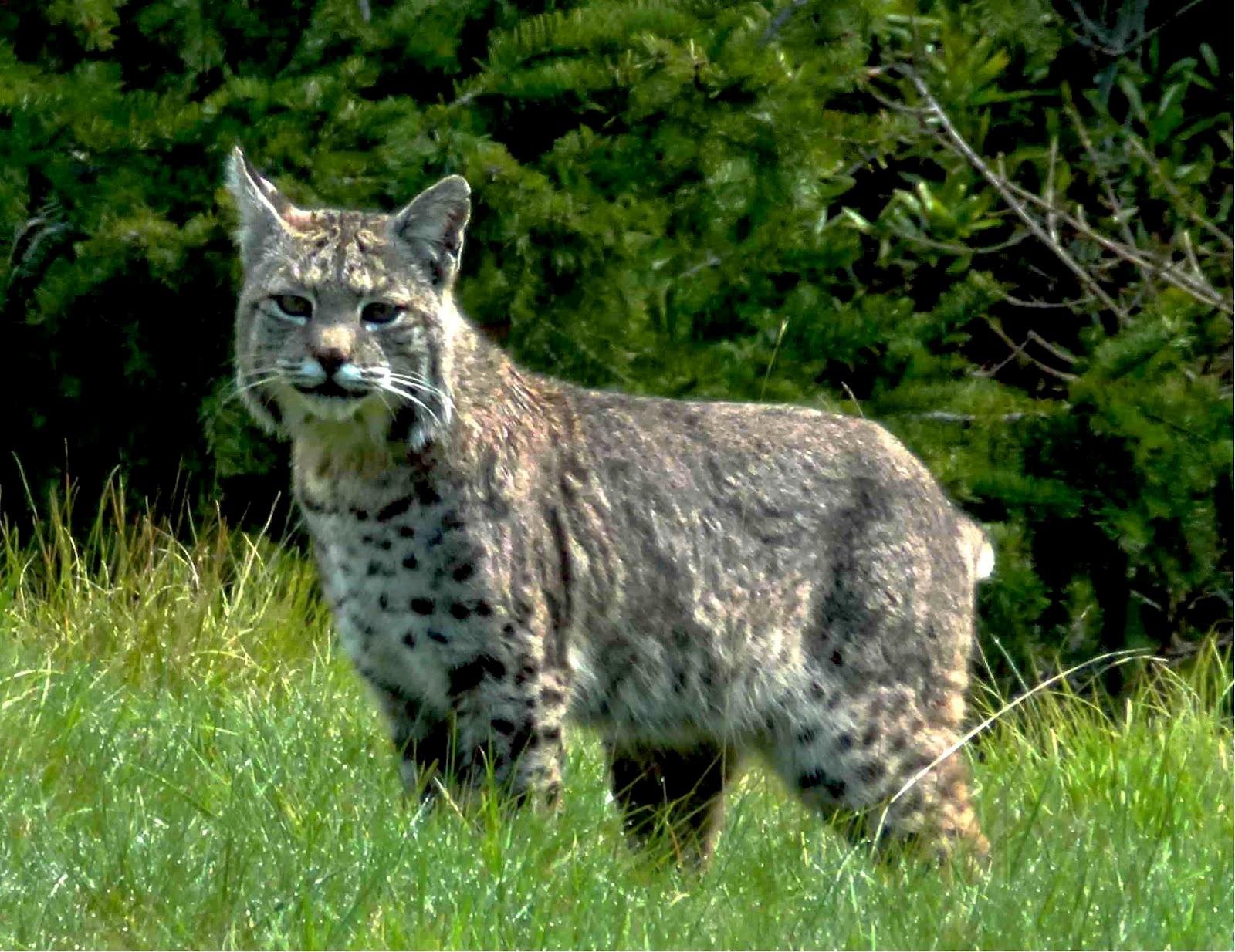 Bobcat | Critters ~ Big & Wild Cats =^..^= | Pinterest