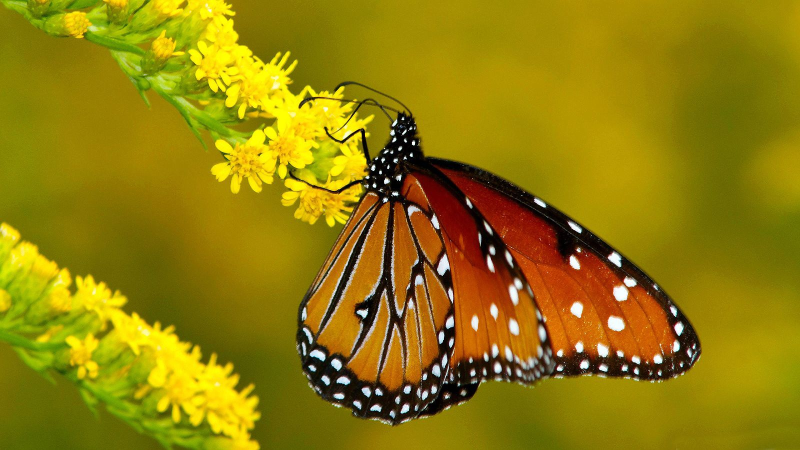 Monarch Butterfly |
