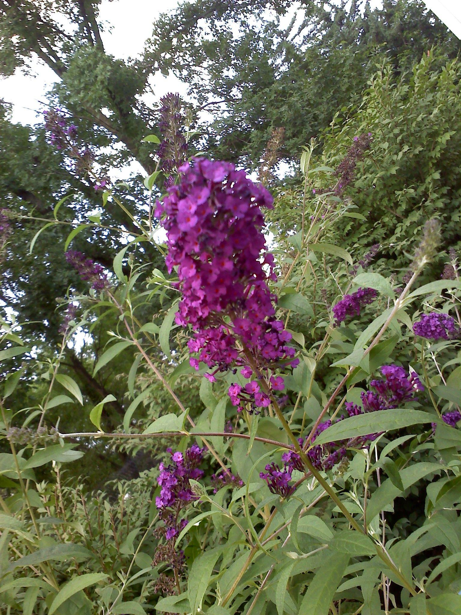 Purple hummingbird bush Hummingbirds and flowers
