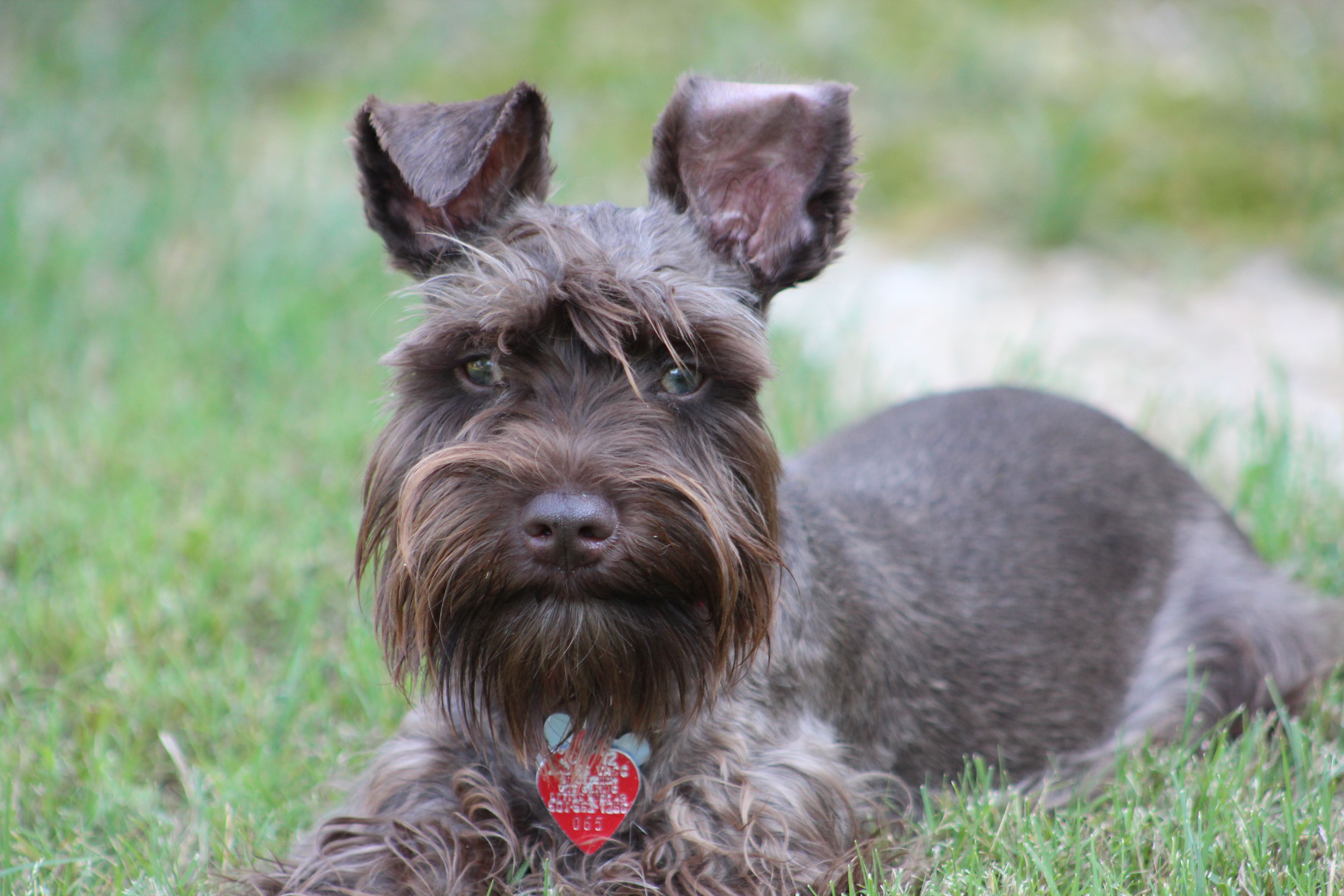my liver colored mini schnauzer schnauzers