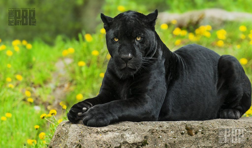 Cute Baby Black Panthers