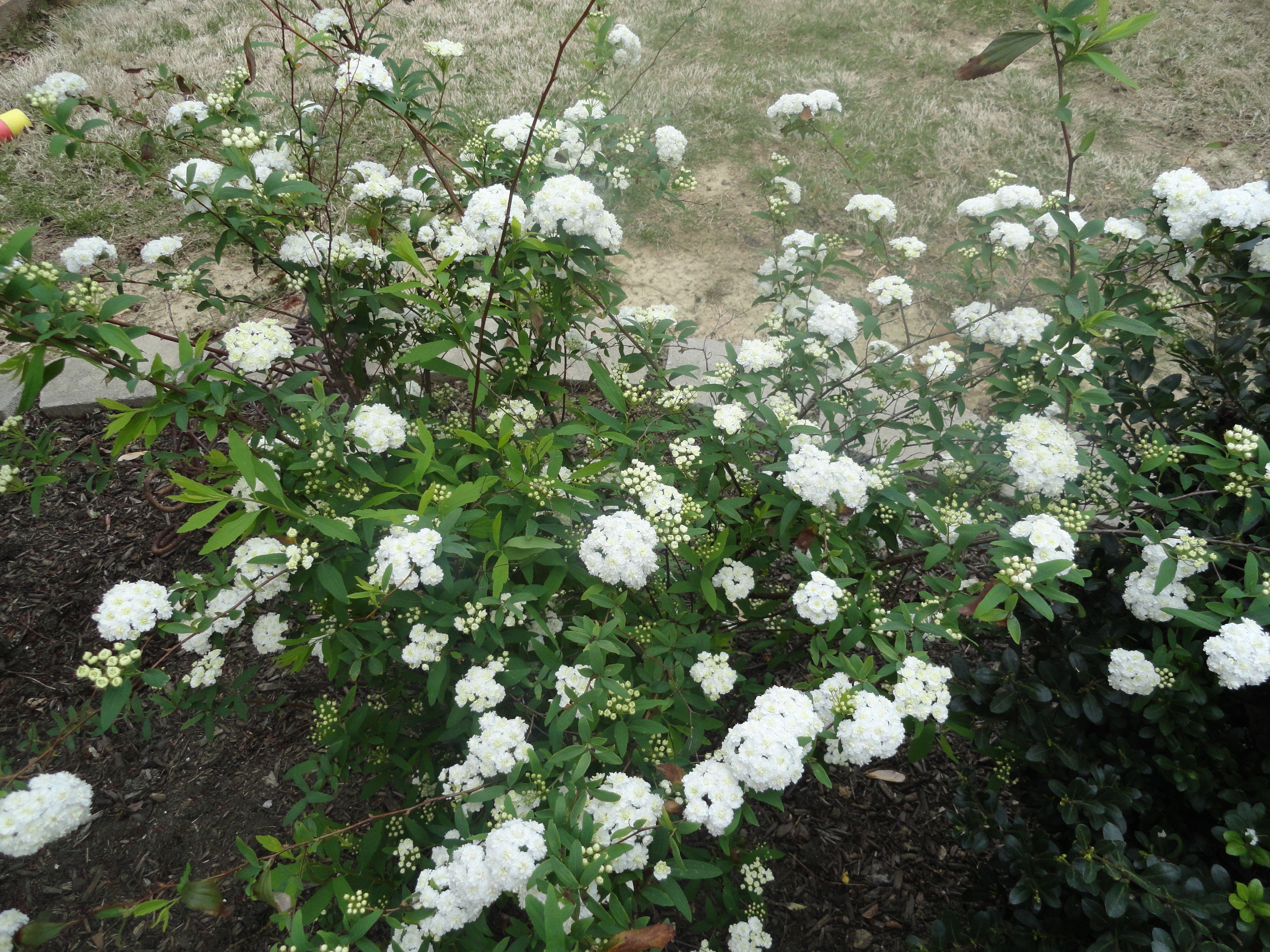 how to grow bridal wreath plant