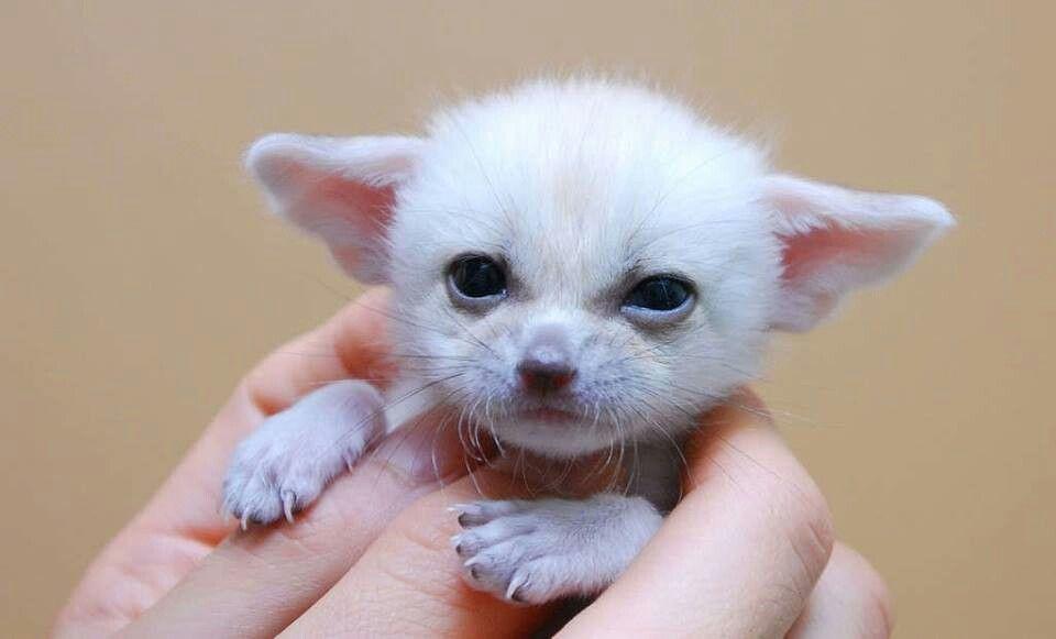 Baby fennec fox   Furs   Pinterest Fennec Fox Newborn