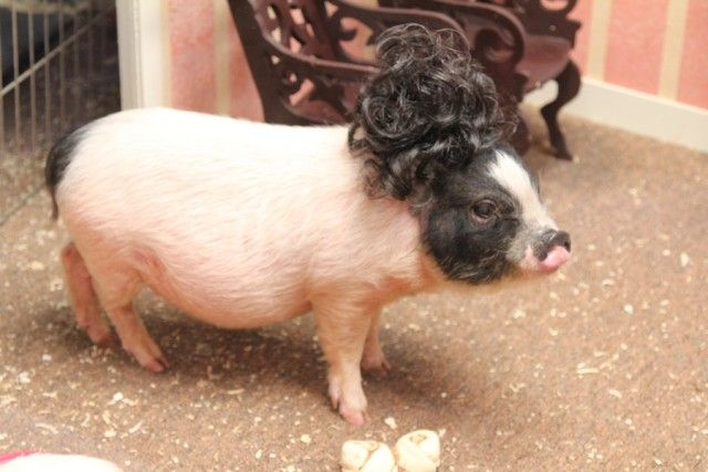 Pig In A Wig 4