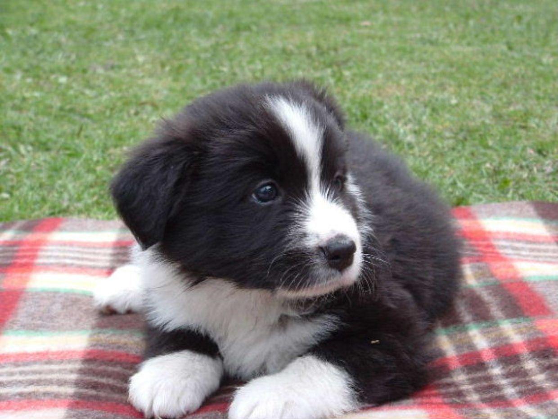 Baby Collies | www.imgkid.com - - 121.3KB