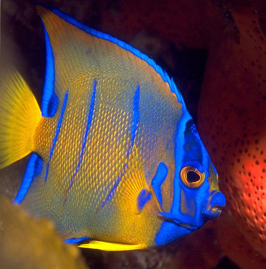 Pinterest for Queen angel fish