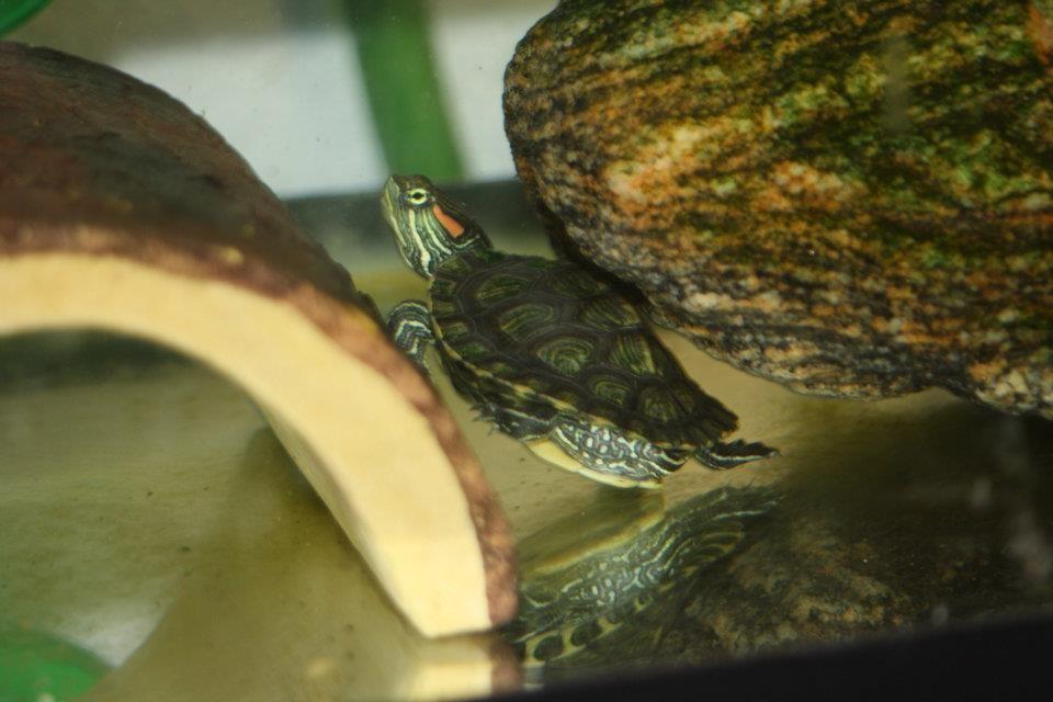 Red Eared Slider Turtle Doxins Pinterest