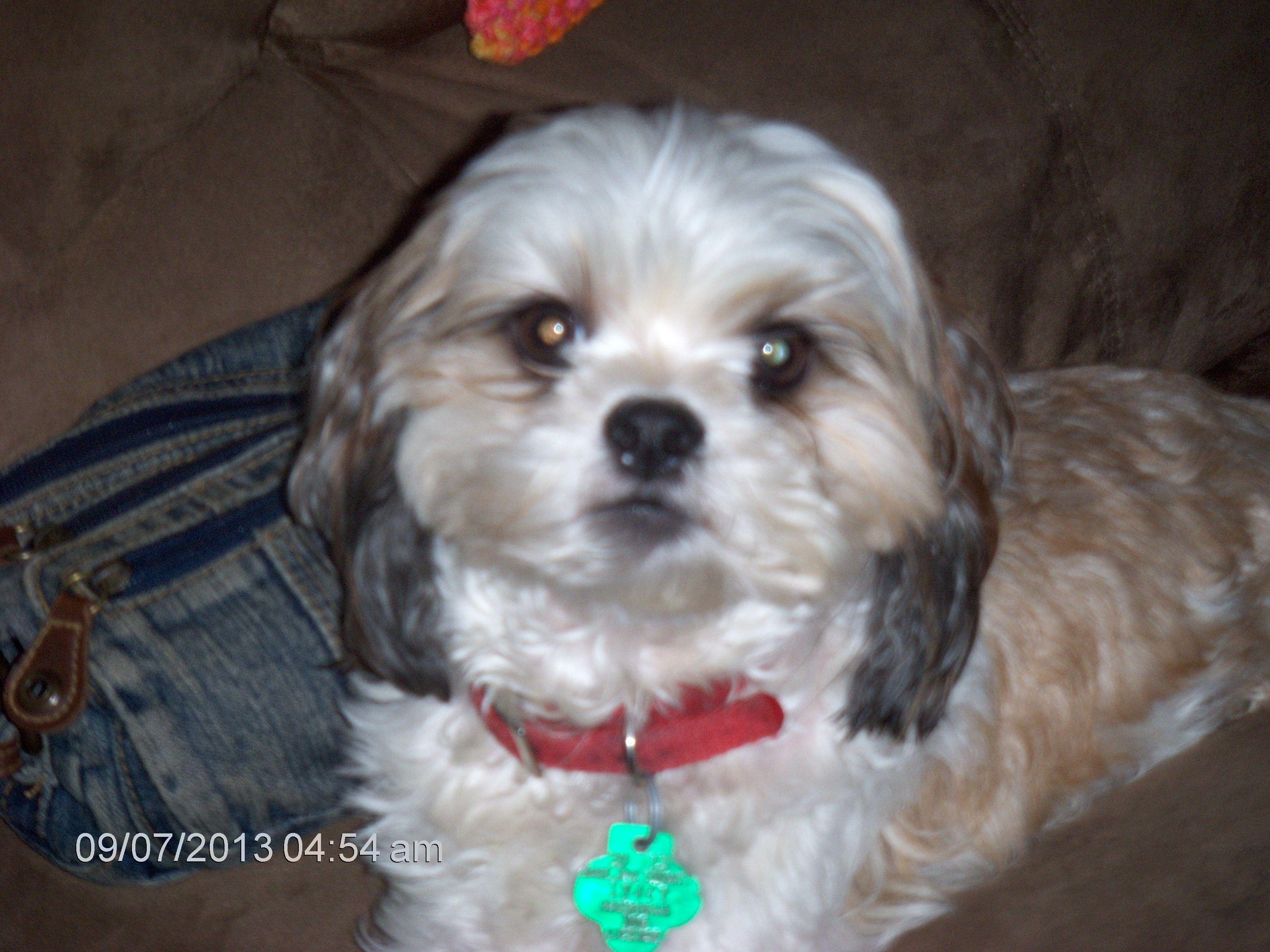 Maltese Shih Tzu Mix Griffey   Dog Breeds Picture