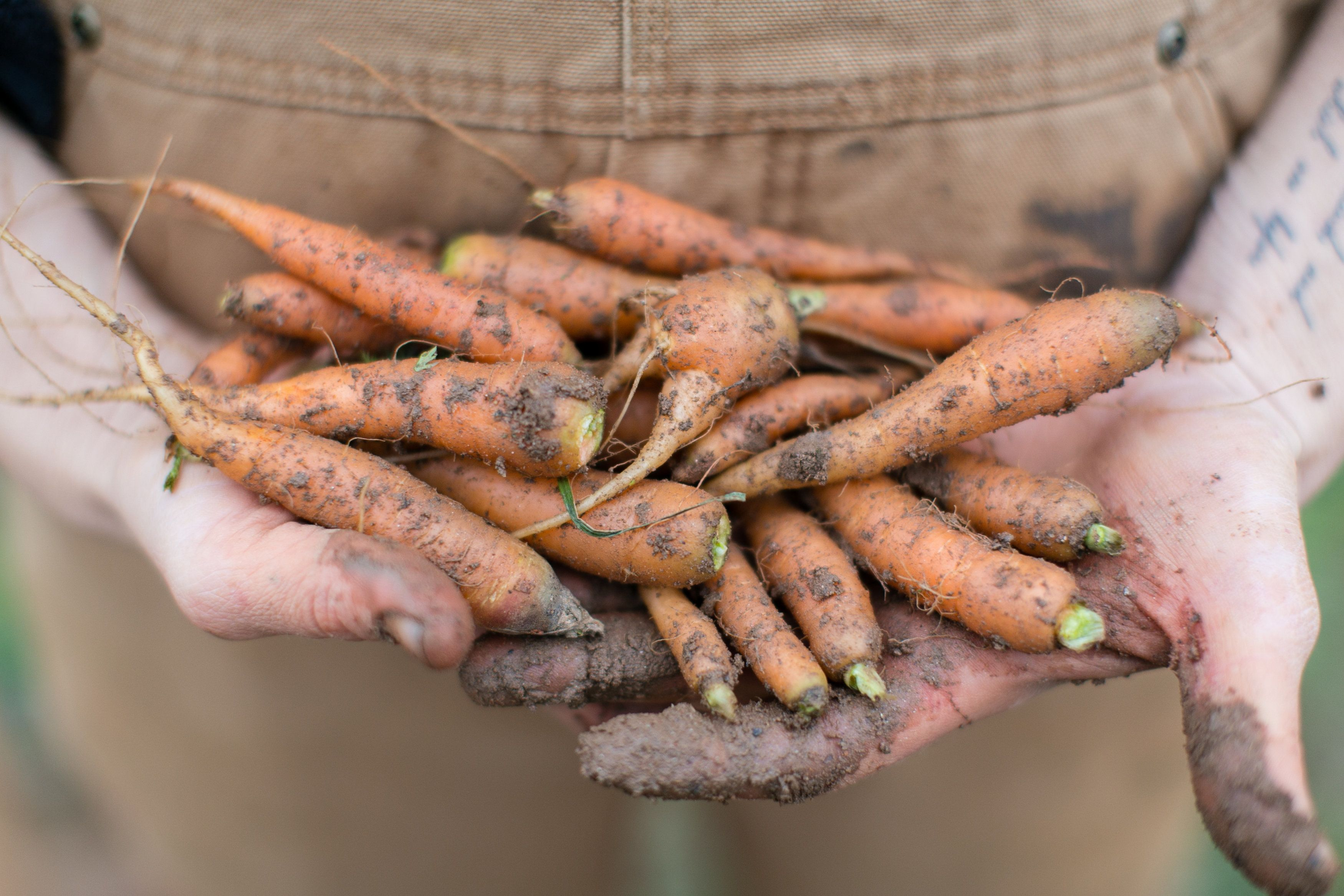 Serenbe Farm carrots www.serenbe.com | Fresh from the Farm | Pinterest