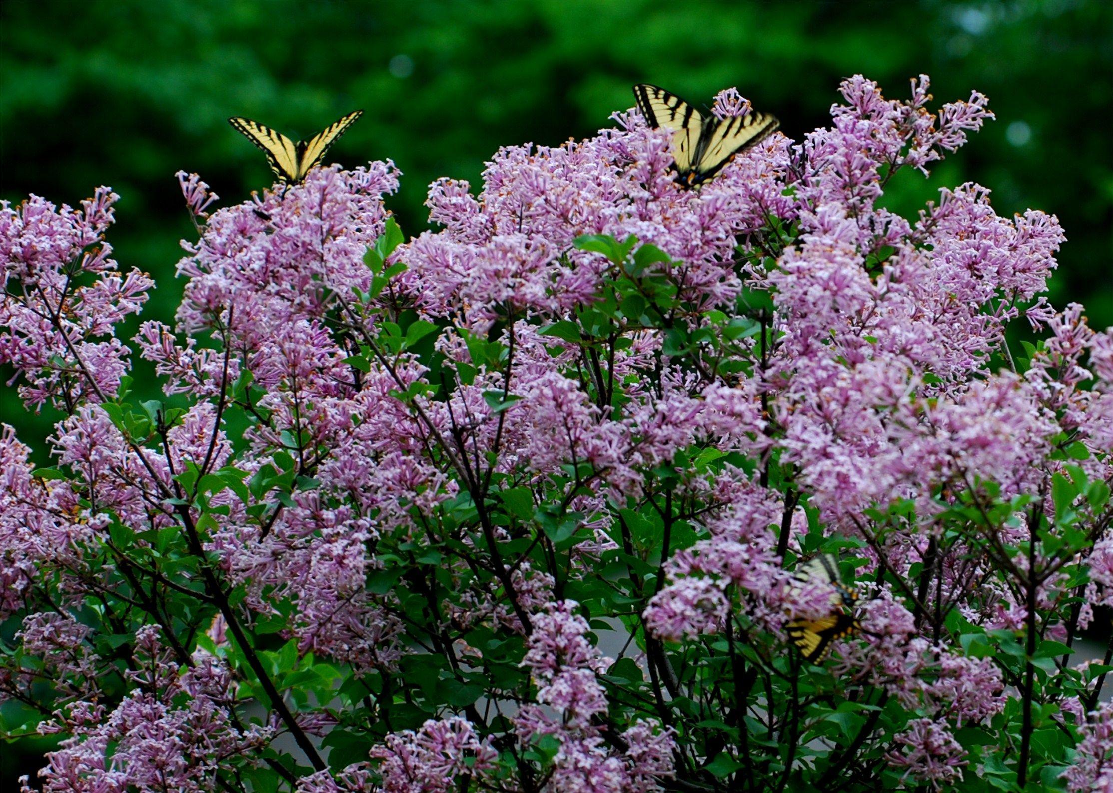 Dwarf Korean Lilac Tree In My Backyard Pinterest