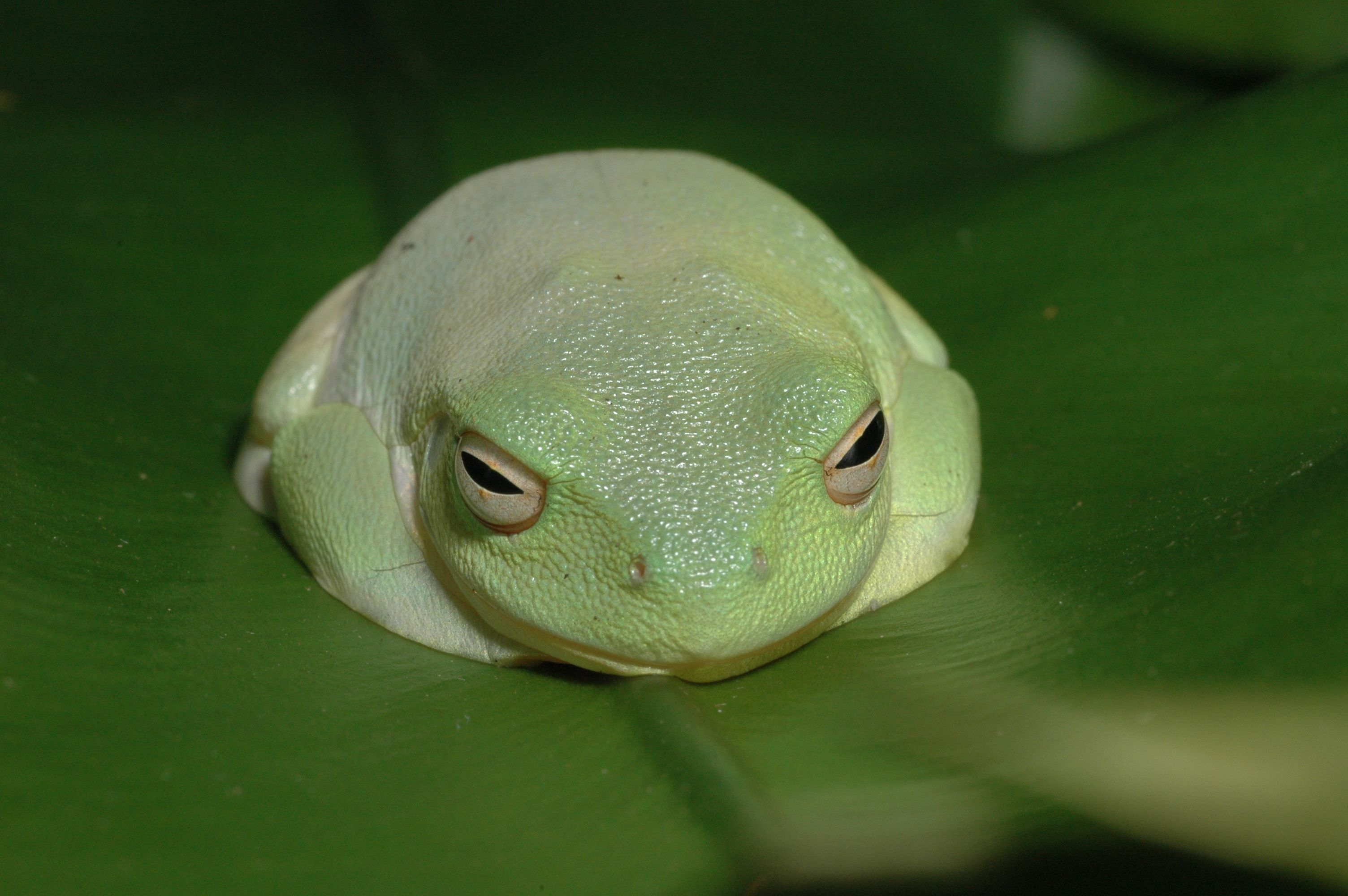 Red eyed tree frog reptiles amphibians but nooooo snakes pinter