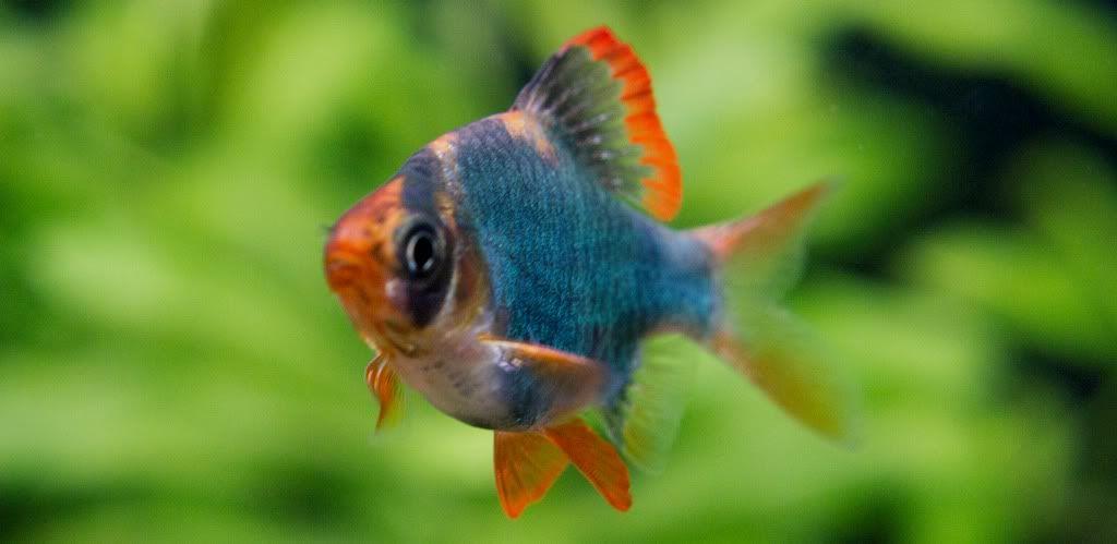 green tetra | Aquarium and Ornamental Fish | Pinterest