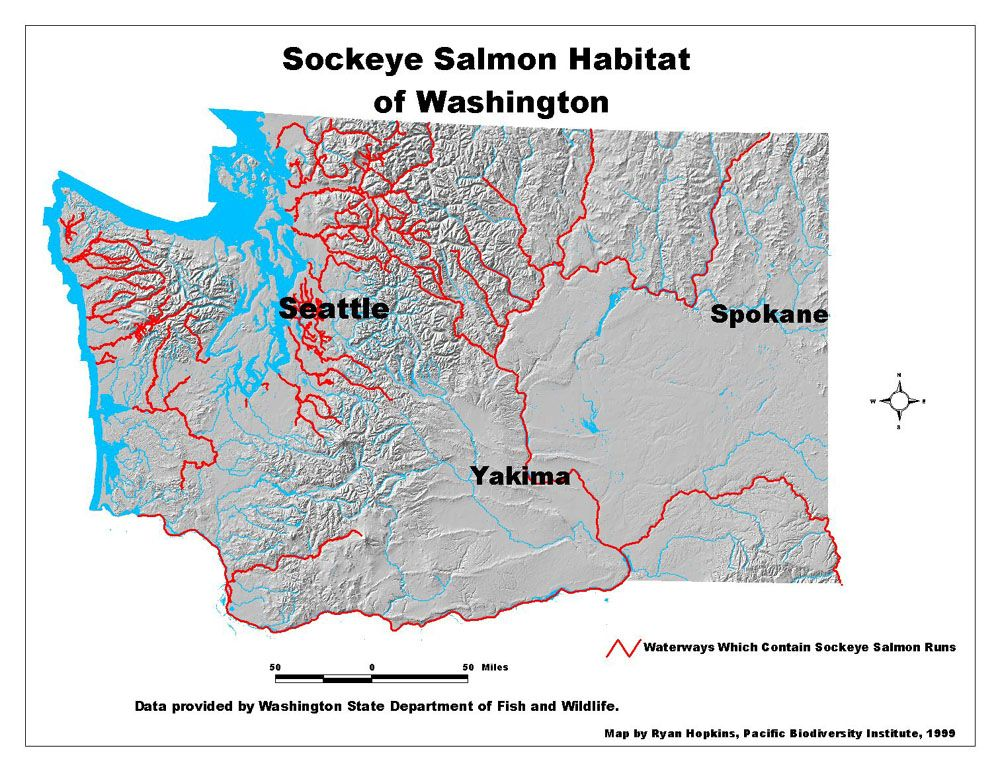 Sockeye washington state salmon pinterest for Salmon fishing season washington