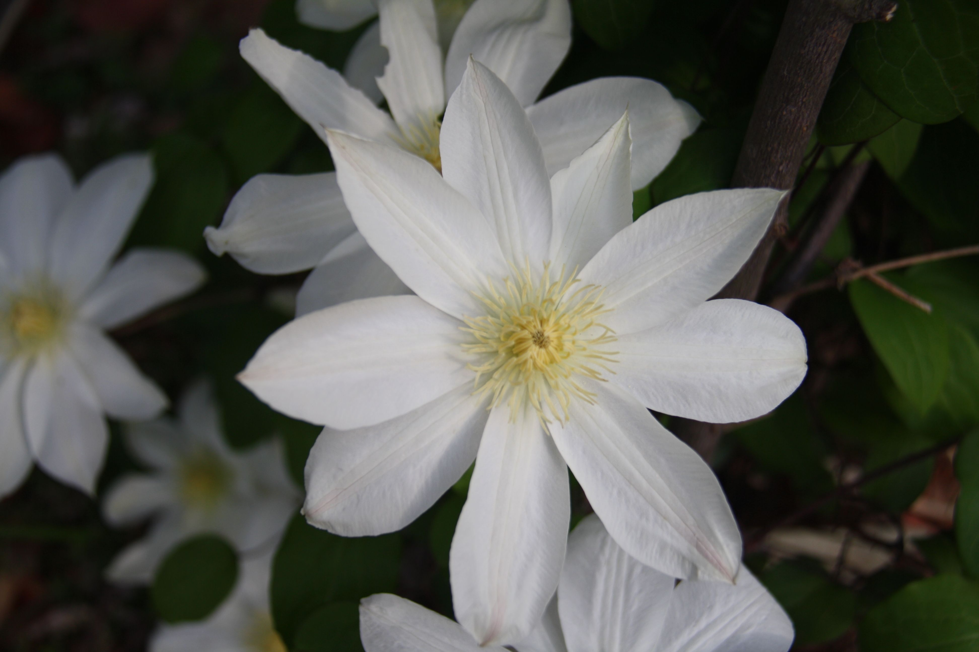 white clematis flowers pinterest