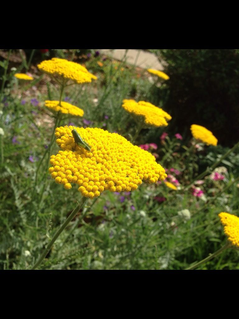 flowersYellow Yarrow Flower