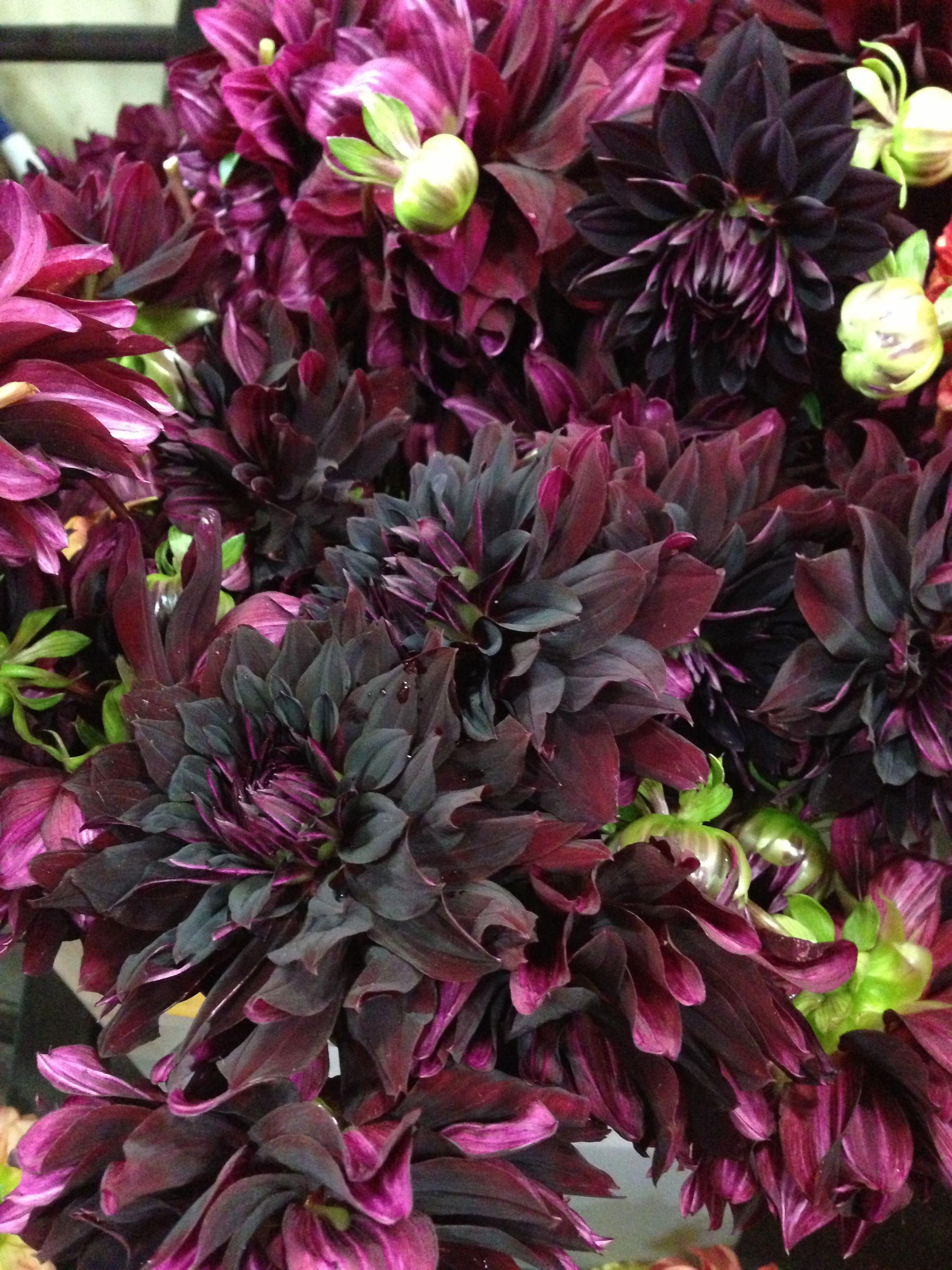Black dahlia Gardening flowers landscape