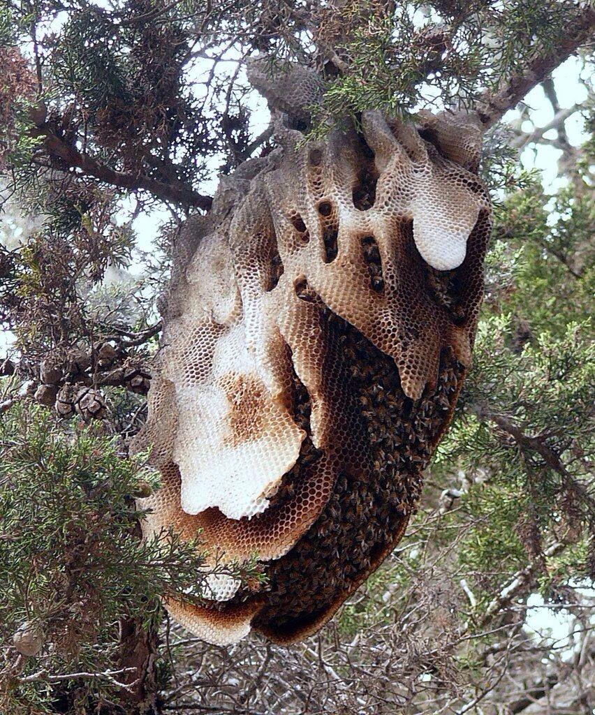 wild honey bee nest. Black Bedroom Furniture Sets. Home Design Ideas
