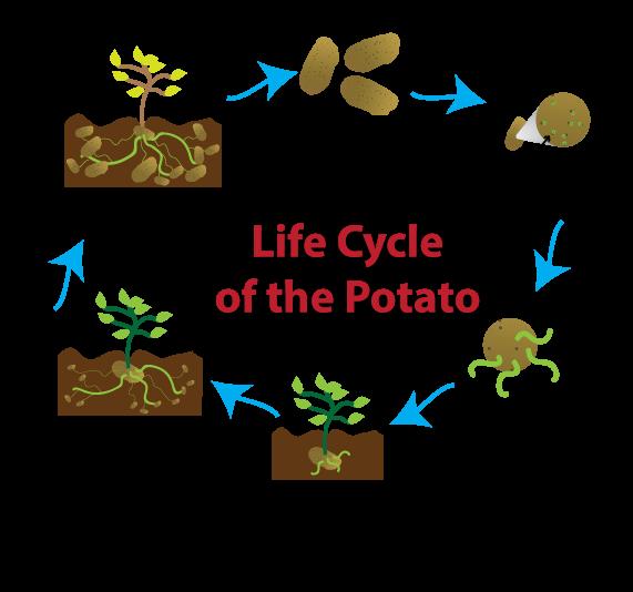 Flowering plant life cycle diagram