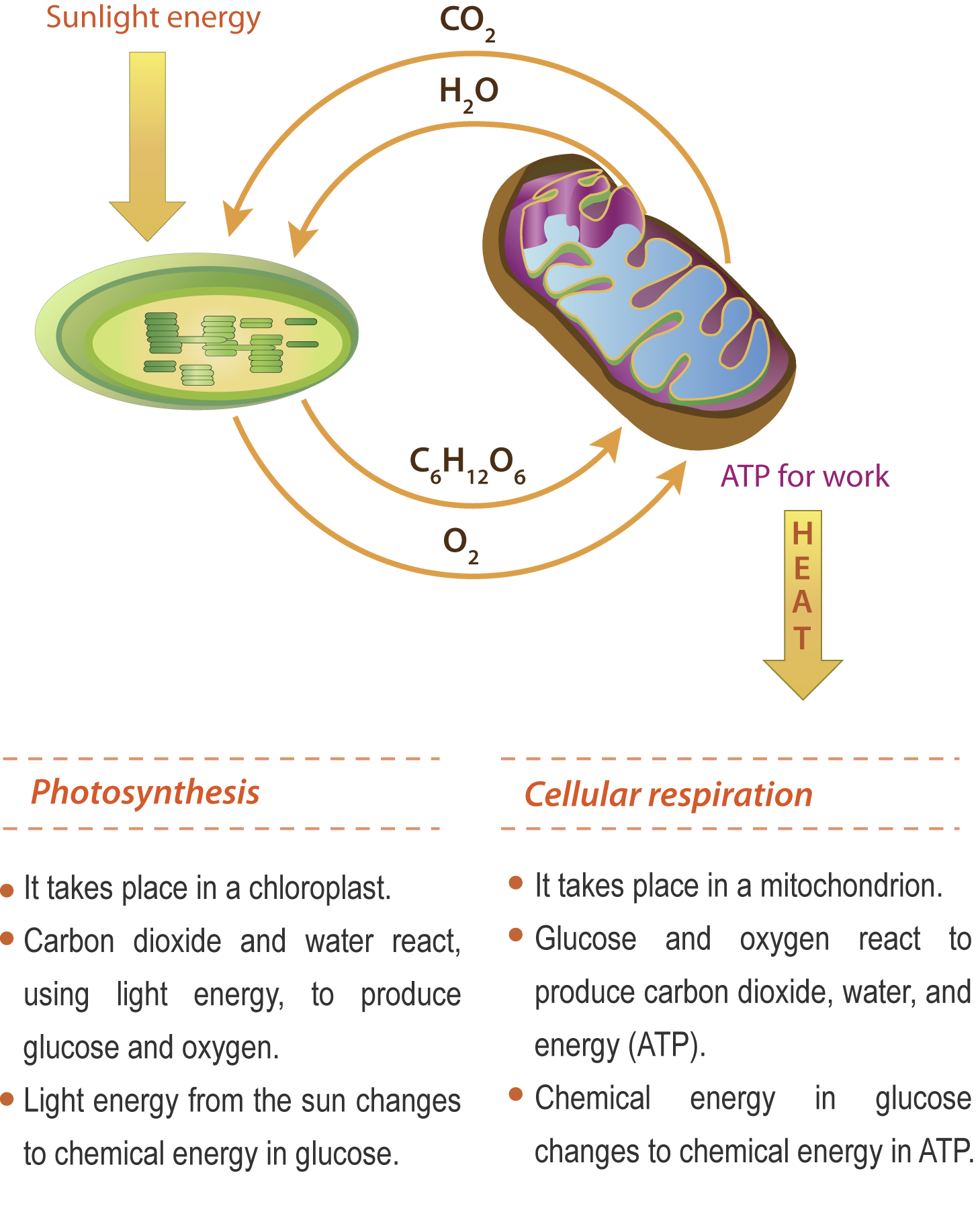 Principales diferencias entre respiracion celular y fotosintesis 20