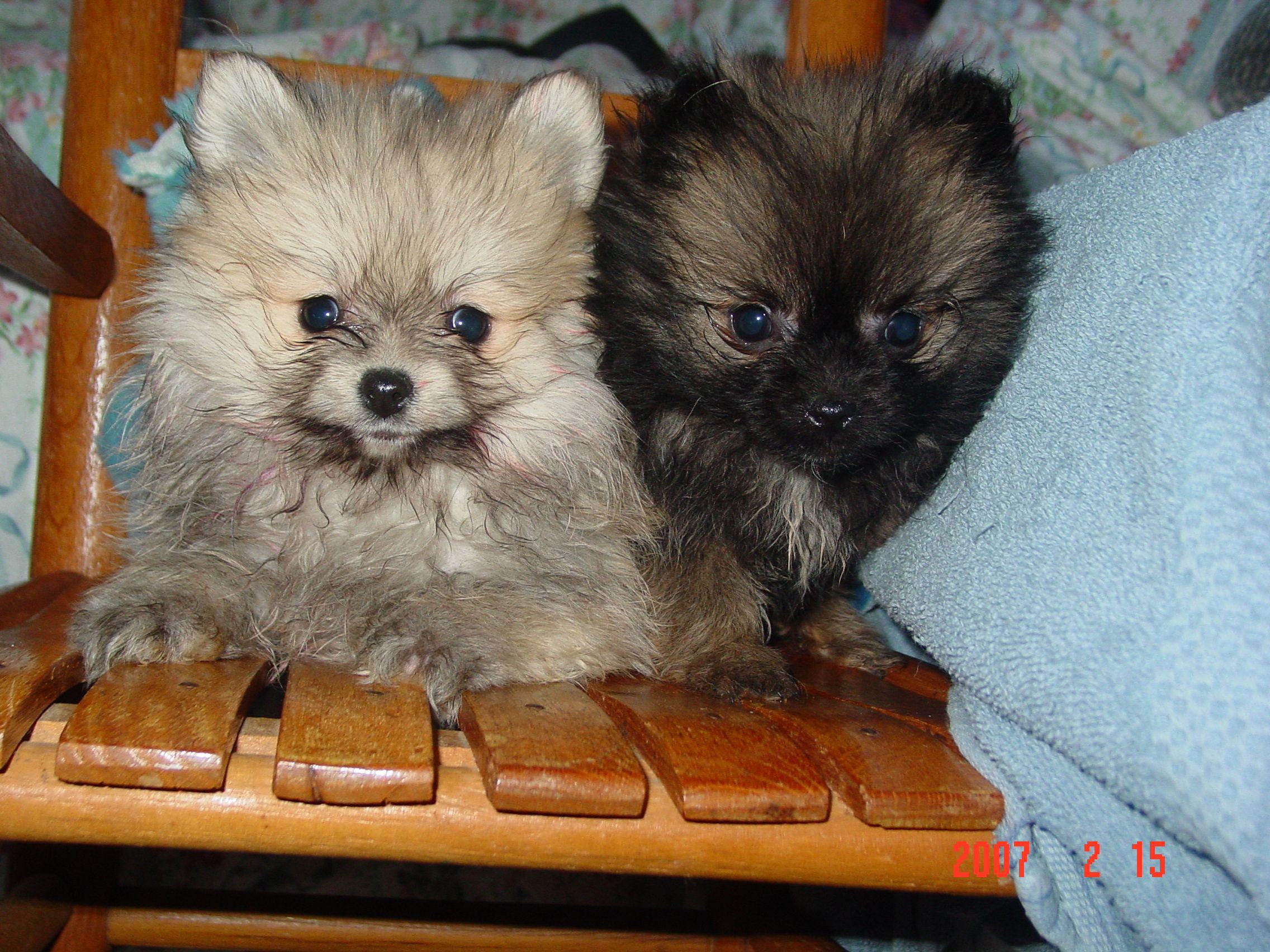 Chihuahua & Lhasa Apso mix :) | Future | Pinterest