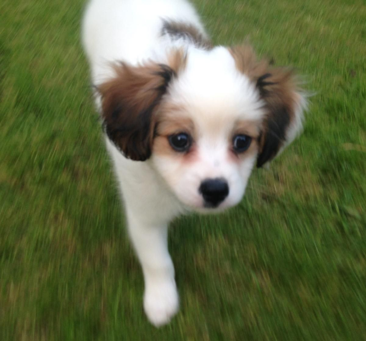 Pomeranian Mix Puppies For Sale  Greenfield Puppies
