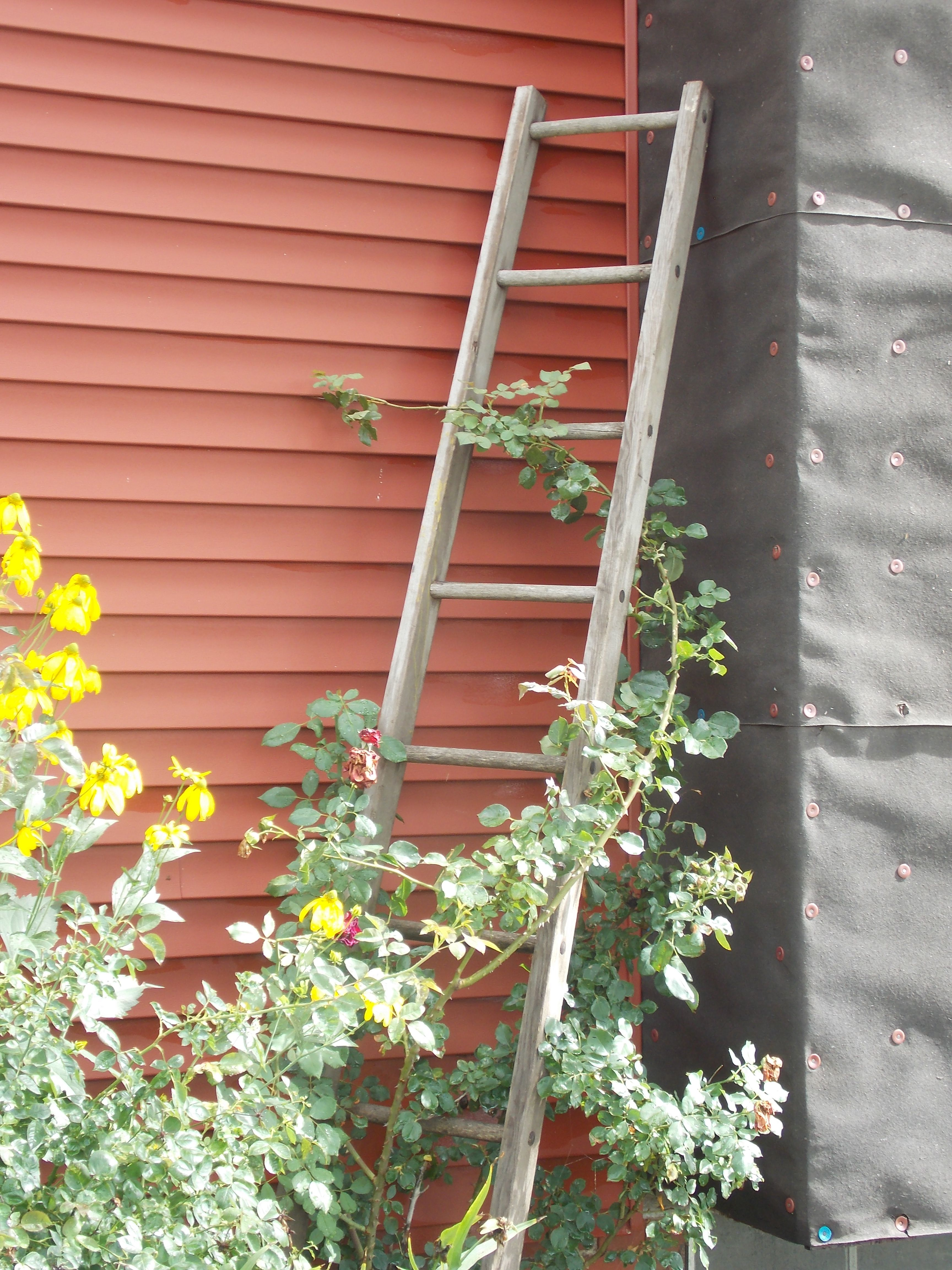 Ladder trellis for climbing rose bush old wooden ladders pintere - Climbing rose trellis ...