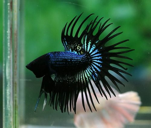 Orchid crowntail male bettas pinterest for Betta fish friends